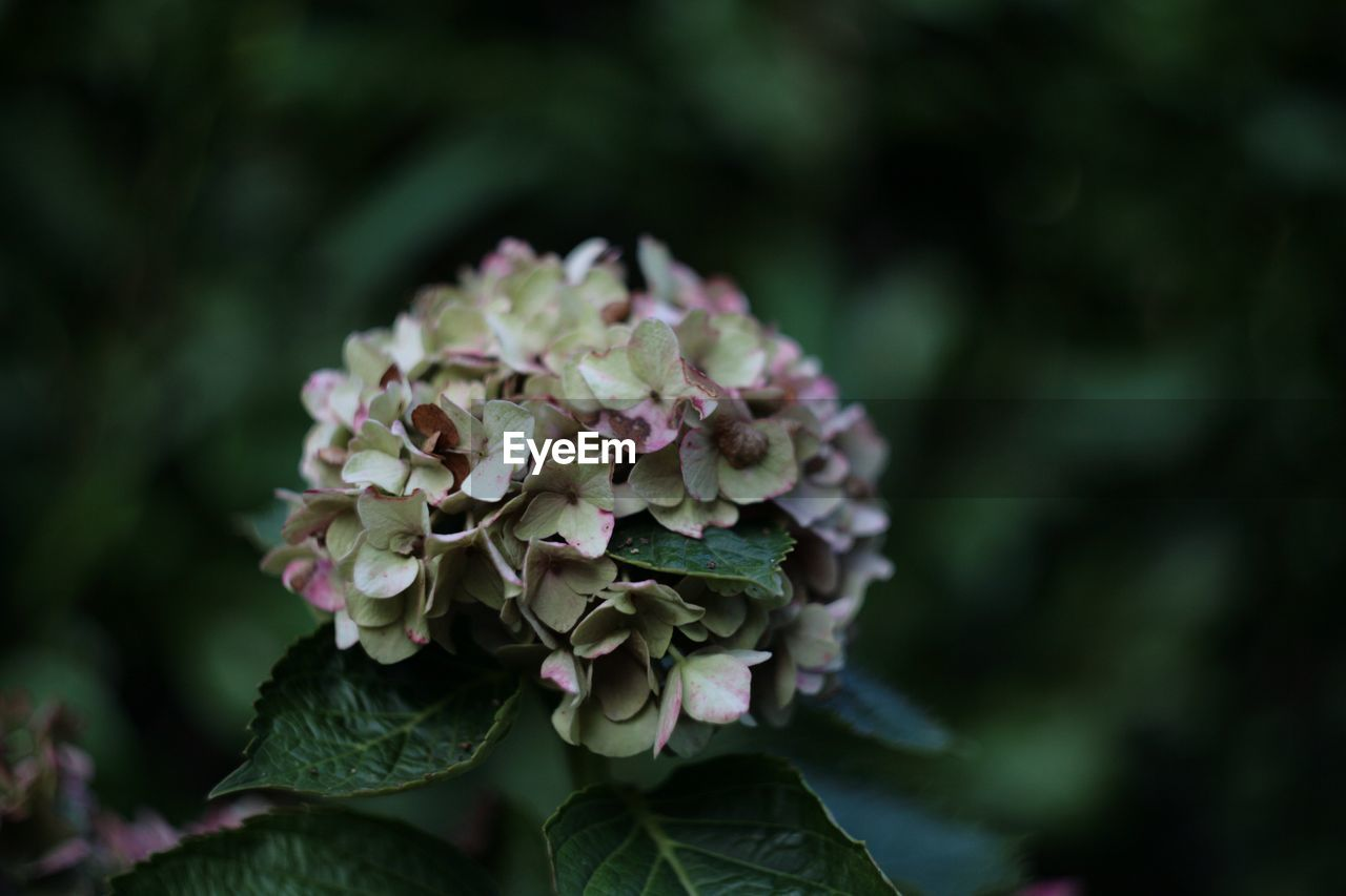 plant, flower, flowering plant, beauty in nature, growth, vulnerability, freshness, fragility, close-up, focus on foreground, flower head, petal, inflorescence, nature, plant part, leaf, day, green color, no people, pink color, outdoors, bunch of flowers, lilac