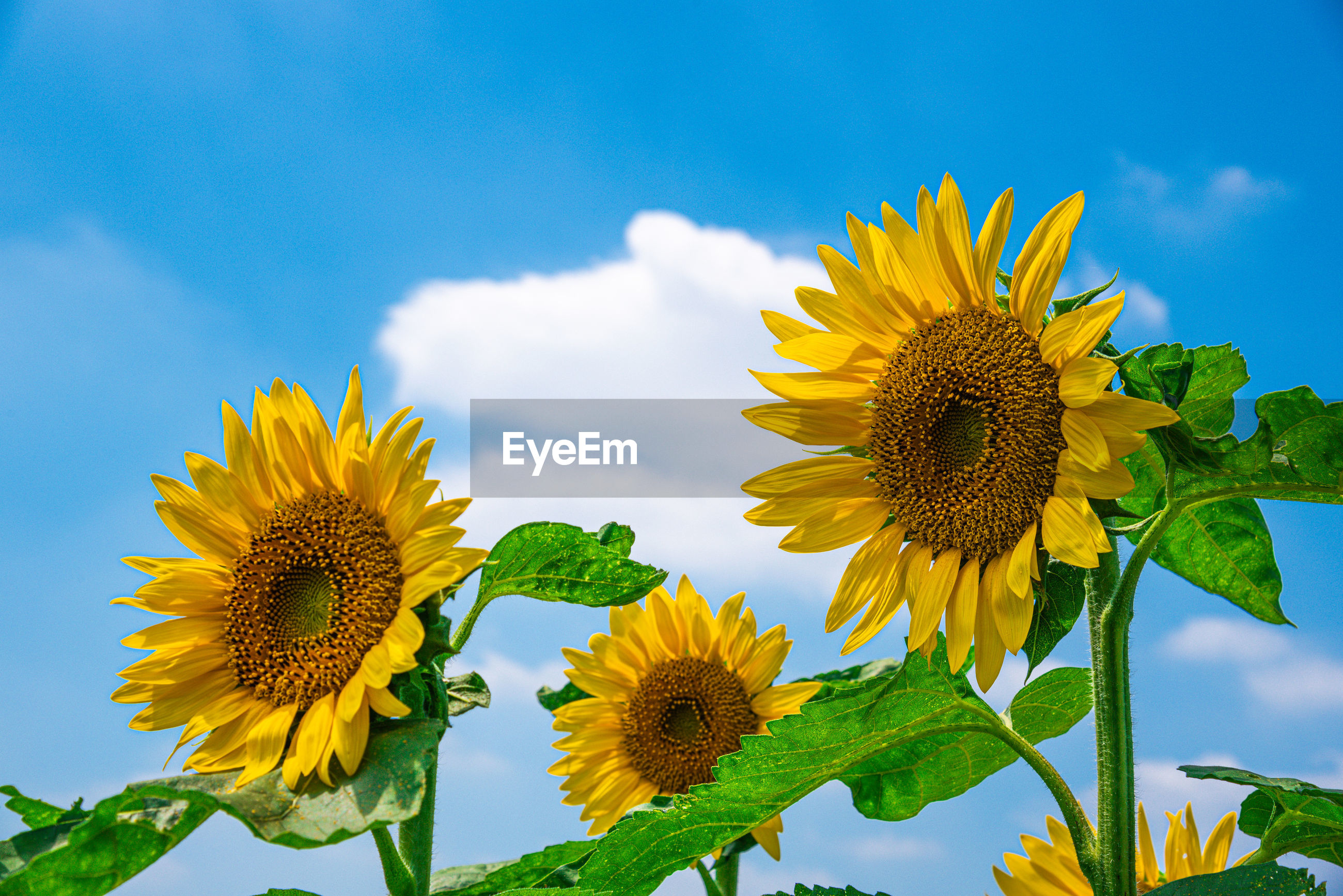 CLOSE-UP OF SUNFLOWER AGAINST YELLOW SKY