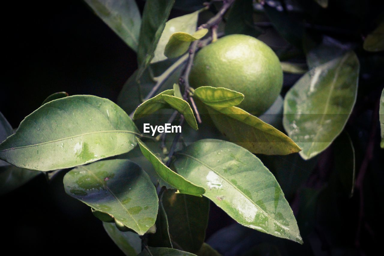 green color, leaf, fruit, freshness, food and drink, growth, healthy eating, close-up, no people, food, outdoors, nature, day, beauty in nature