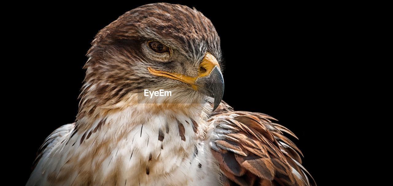Close-Up Of Eagle Over Black Background
