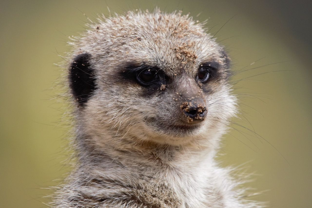 one animal, animal, animal themes, animal wildlife, animals in the wild, close-up, mammal, meerkat, vertebrate, no people, looking, animal body part, focus on foreground, looking away, day, portrait, animal head, nature, outdoors, hair, whisker, animal eye