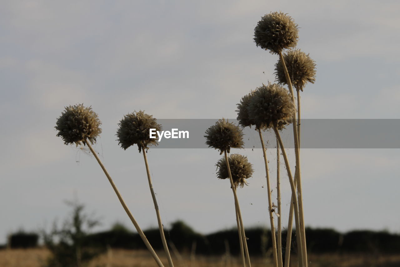 plant, sky, growth, nature, beauty in nature, no people, tree, focus on foreground, field, tranquility, land, flower, close-up, day, plant stem, outdoors, environment, flowering plant, freshness, low angle view, flower head, wilted plant