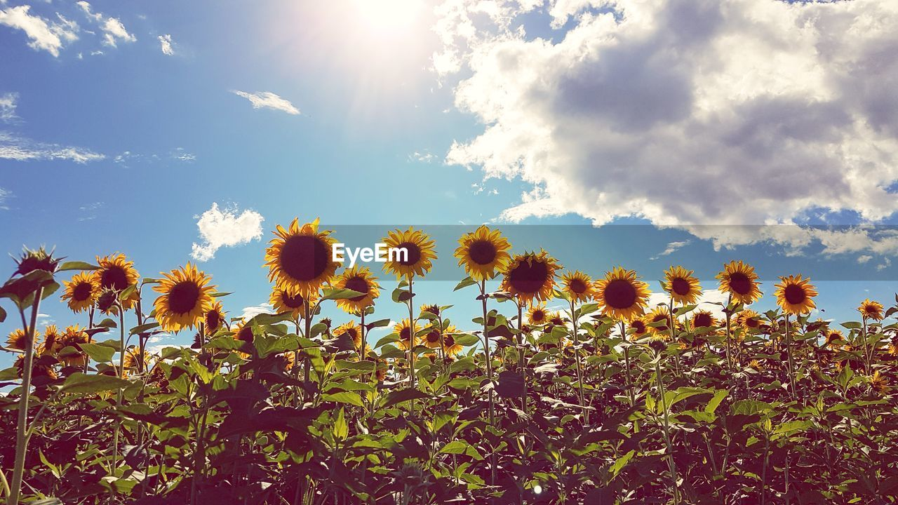sky, plant, beauty in nature, growth, cloud - sky, sunlight, tranquility, nature, flower, field, land, flowering plant, tranquil scene, no people, day, landscape, freshness, environment, sunny, scenics - nature, lens flare, outdoors, sun, bright, flower head
