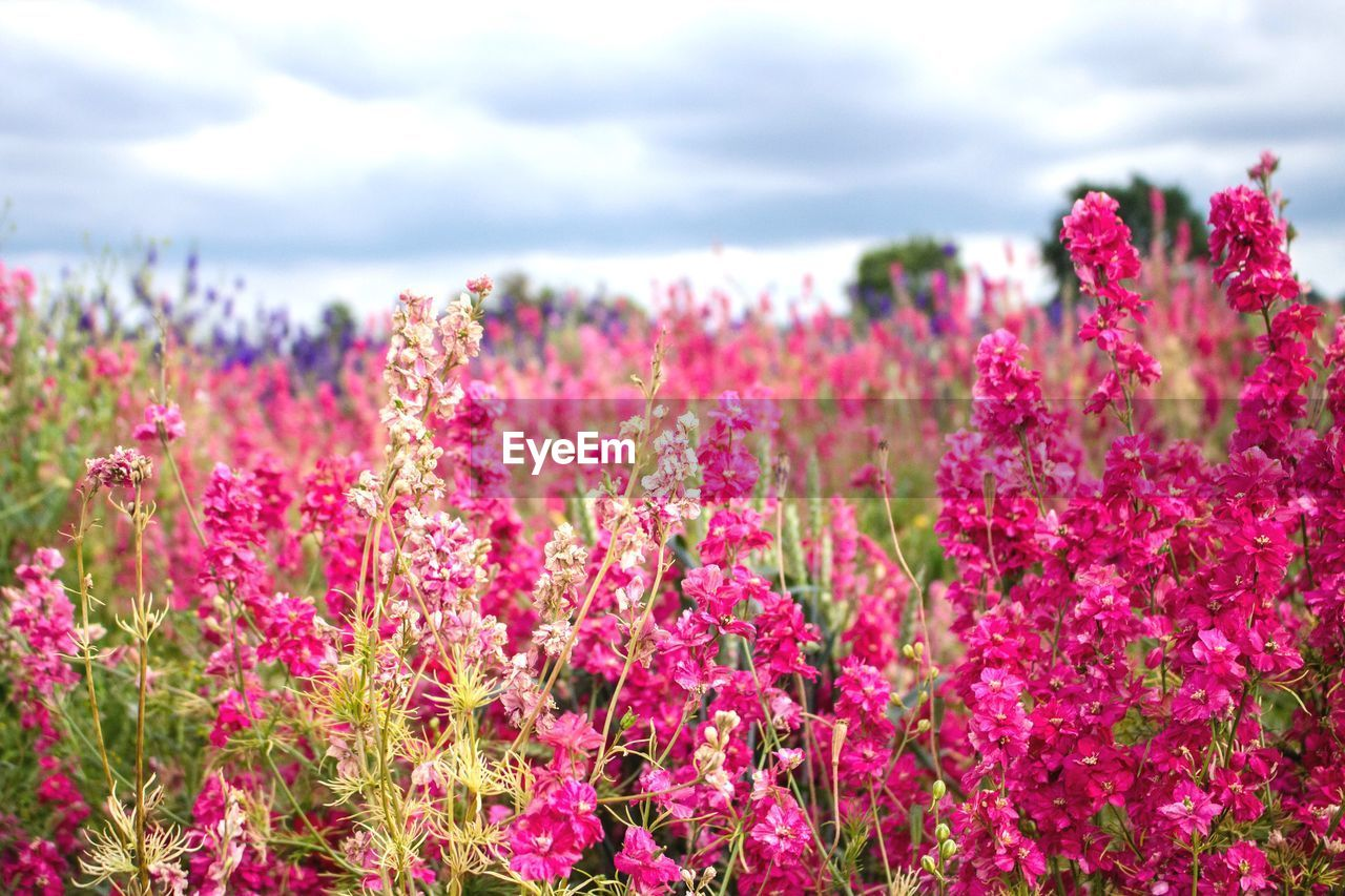 flower, flowering plant, plant, growth, beauty in nature, vulnerability, pink color, fragility, freshness, nature, land, day, close-up, field, sky, no people, cloud - sky, focus on foreground, tranquility, outdoors, flower head, springtime, flowerbed, purple