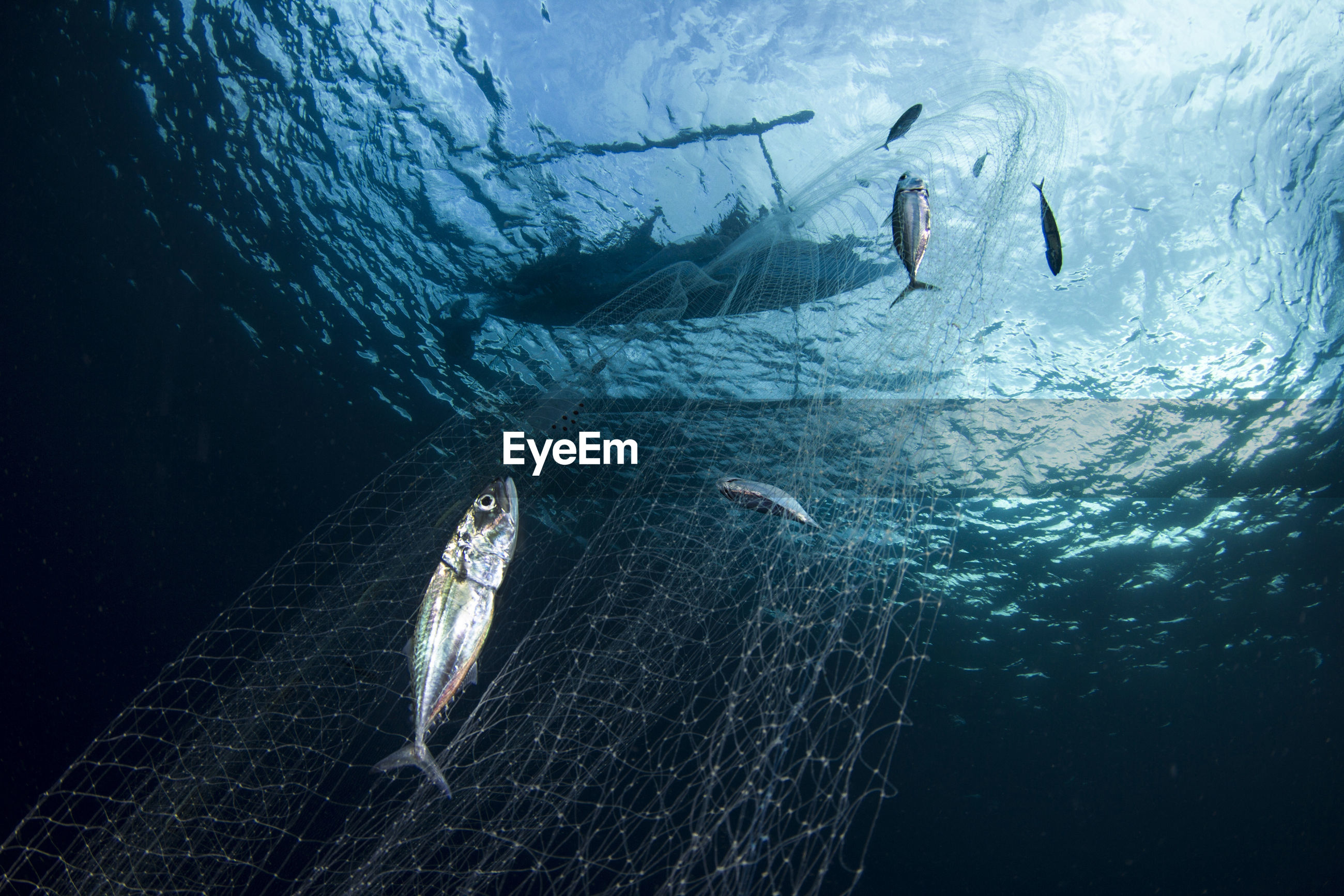 Low angle view of fish in fishing net underwater