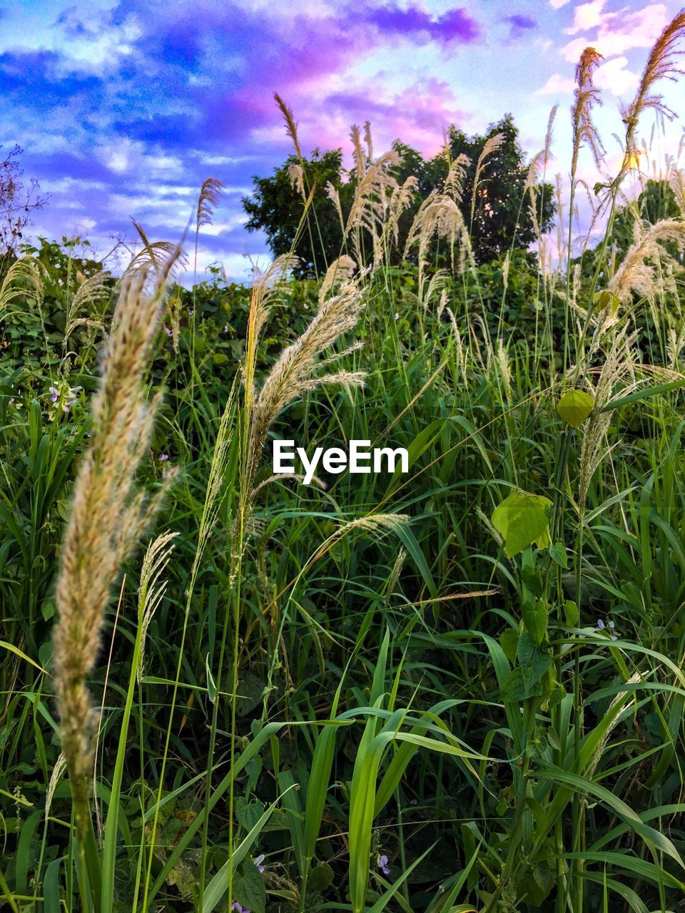 plant, growth, sky, field, nature, beauty in nature, cloud - sky, land, no people, day, grass, tranquility, agriculture, crop, cereal plant, green color, close-up, environment, outdoors, tranquil scene, plantation