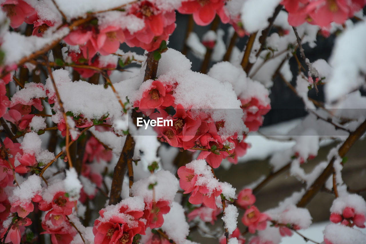 CLOSE-UP OF SNOW COVERED RED PLANTS