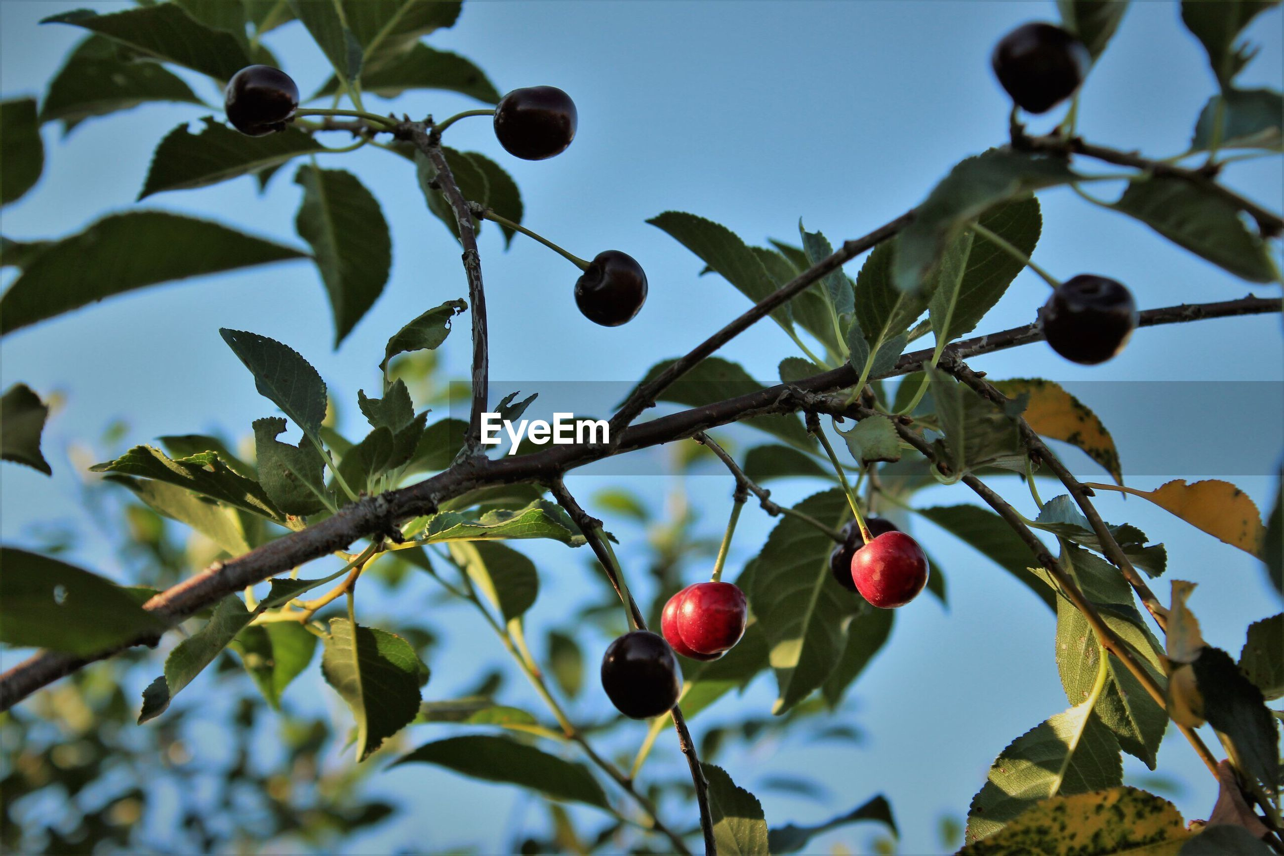 fruit, tree, food and drink, branch, growth, leaf, low angle view, day, nature, outdoors, food, red, no people, focus on foreground, healthy eating, twig, freshness, beauty in nature, close-up, sky
