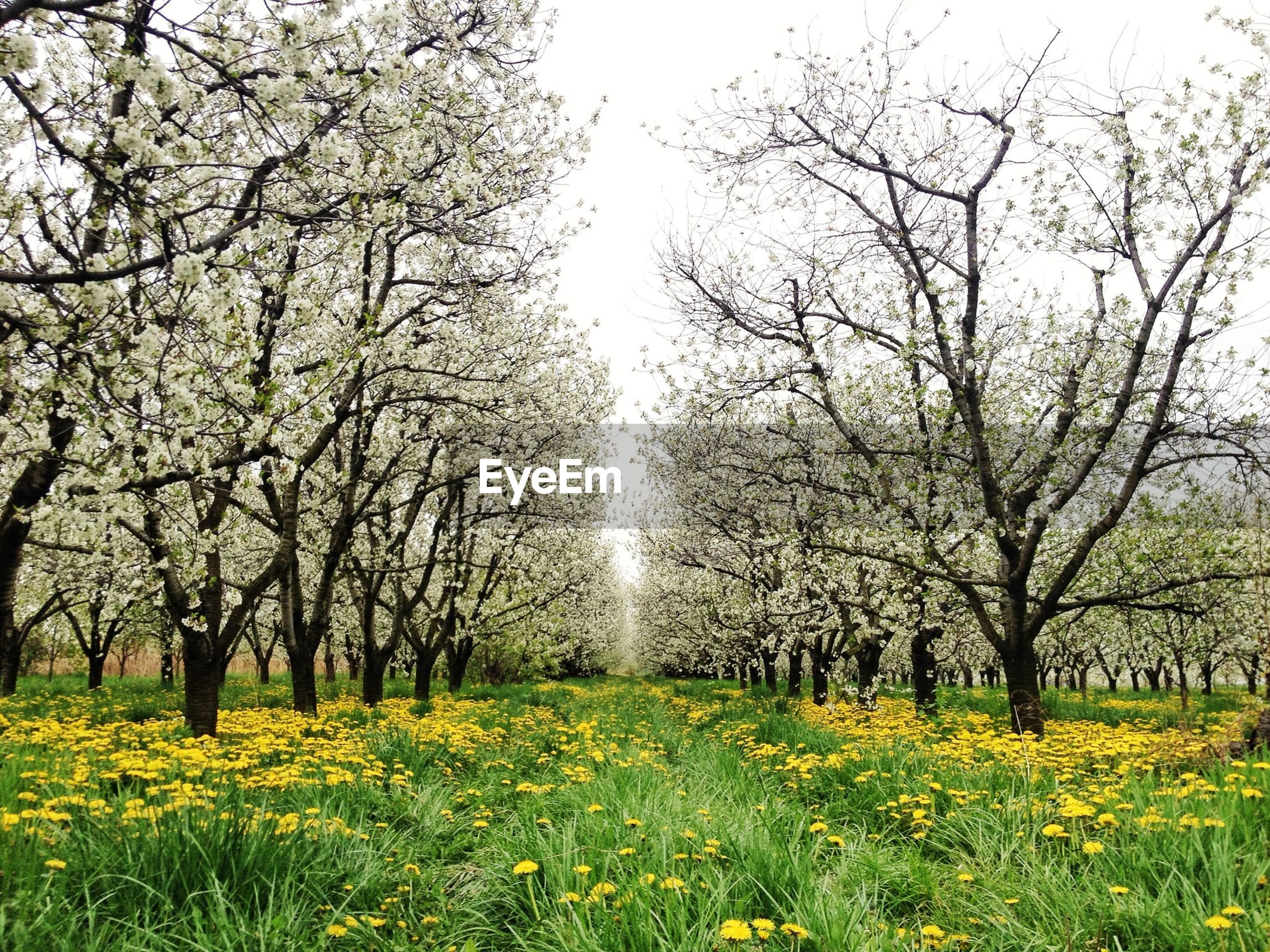 Trees growing amidst yellow flowering plants