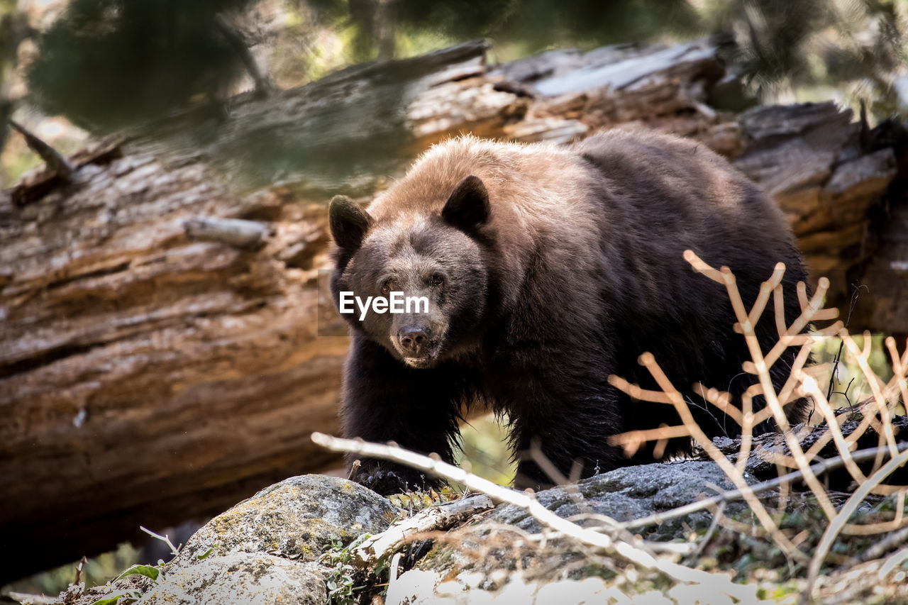 animal, animal themes, one animal, animals in the wild, animal wildlife, mammal, nature, bear, day, vertebrate, rock, no people, solid, rock - object, outdoors, looking, selective focus, tree, looking away