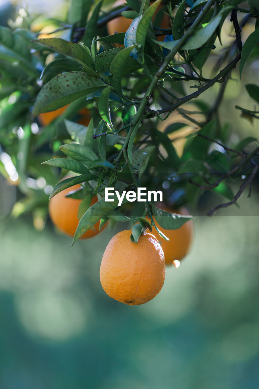 healthy eating, food and drink, food, fruit, citrus fruit, orange color, growth, orange, orange - fruit, freshness, tree, wellbeing, orange tree, plant, leaf, focus on foreground, fruit tree, plant part, no people, nature, outdoors, ripe