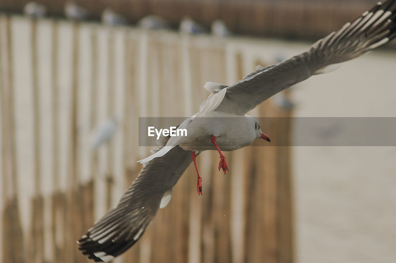 bird, vertebrate, animal themes, animal, animals in the wild, spread wings, animal wildlife, flying, no people, focus on foreground, day, one animal, nature, seagull, outdoors, fence, selective focus, boundary, mid-air, animal wing, mouth open
