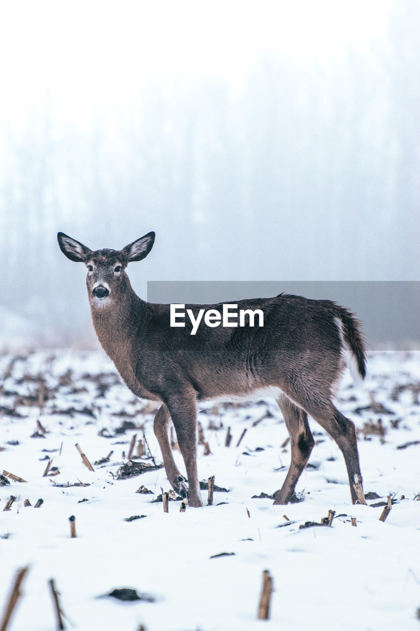 animal themes, animal, one animal, mammal, vertebrate, snow, animals in the wild, winter, deer, cold temperature, animal wildlife, no people, standing, day, land, nature, field, side view, outdoors, herbivorous