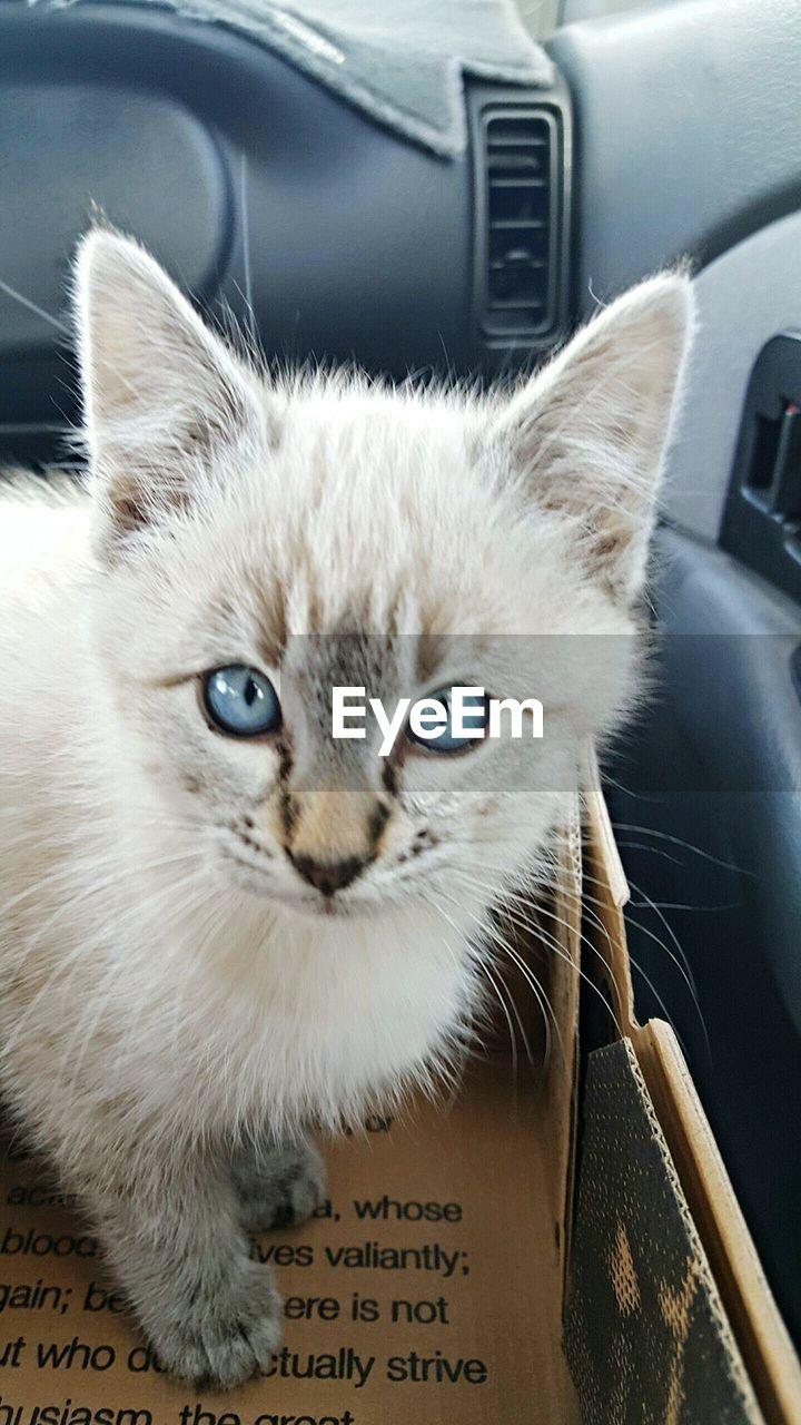 Close-up portrait of cat in car