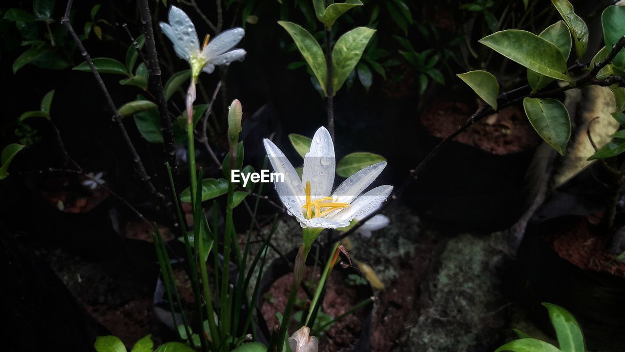 plant, growth, beauty in nature, vulnerability, fragility, leaf, plant part, nature, flower, close-up, petal, flowering plant, inflorescence, freshness, flower head, white color, no people, day, high angle view, outdoors, pollen, purple
