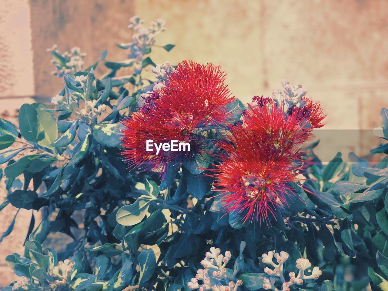 flowering plant, flower, plant, beauty in nature, vulnerability, close-up, growth, fragility, nature, freshness, red, no people, petal, flower head, inflorescence, day, focus on foreground, plant part, leaf, outdoors