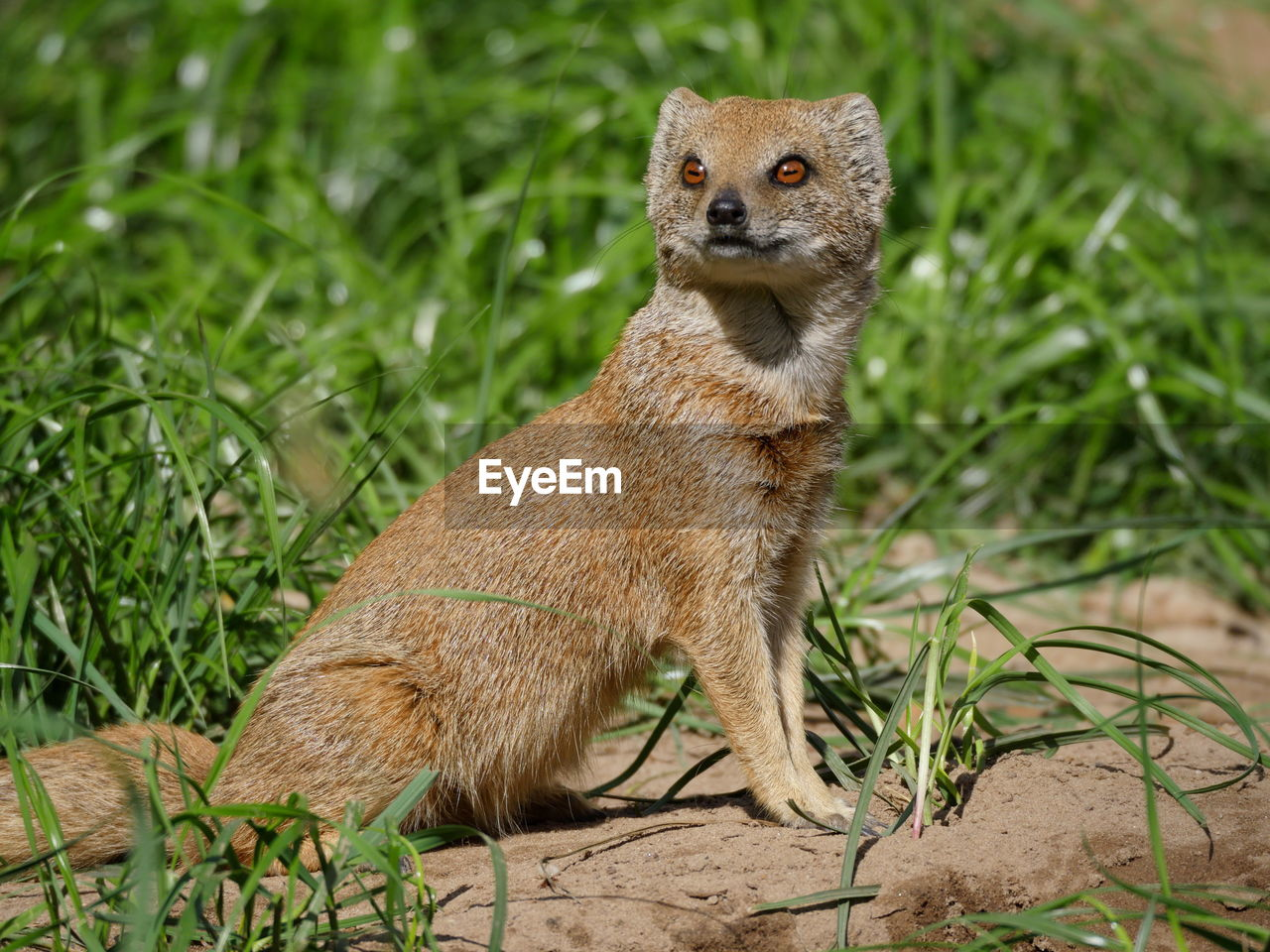 one animal, animal wildlife, animals in the wild, plant, mammal, vertebrate, grass, nature, no people, land, portrait, day, field, looking at camera, meerkat, outdoors, green color