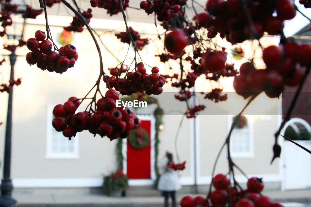 fruit, focus on foreground, food and drink, growth, red, tree, nature, freshness, day, outdoors, hanging, beauty in nature, close-up, no people, plant, healthy eating, food, branch