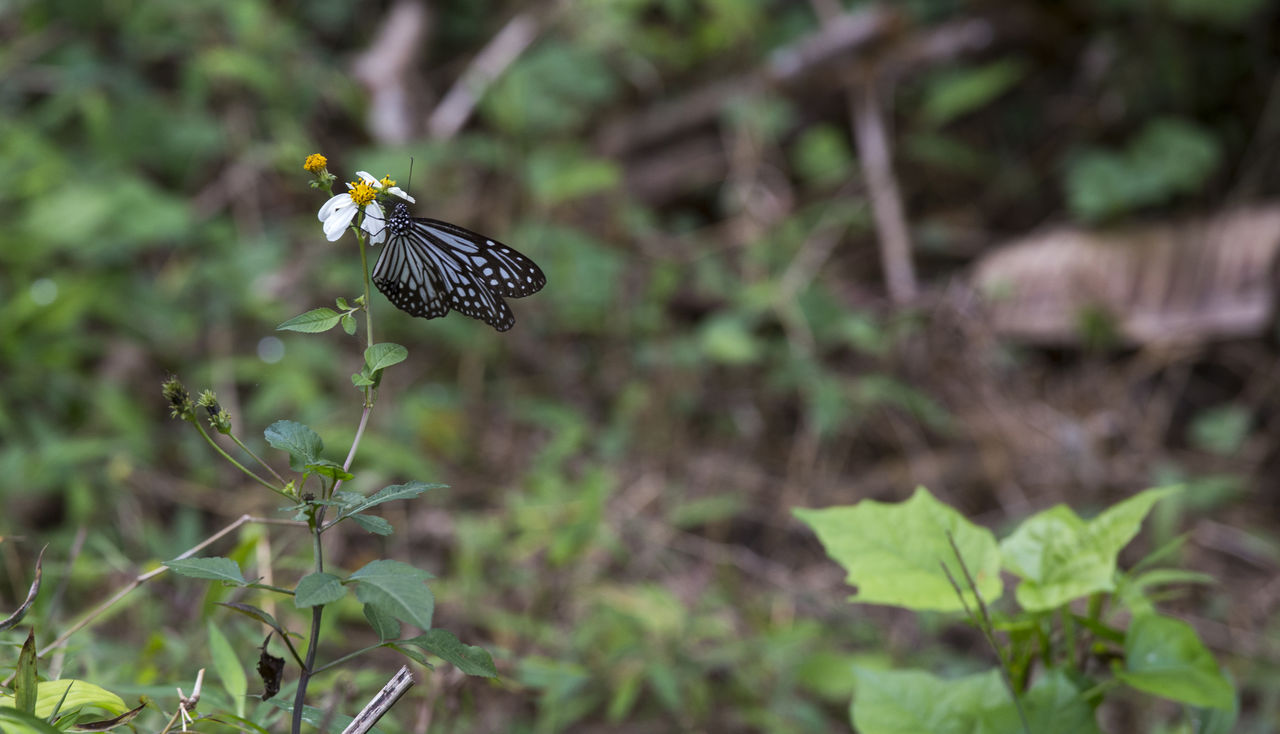 plant, animal themes, animals in the wild, animal wildlife, one animal, animal, invertebrate, beauty in nature, flower, insect, growth, flowering plant, nature, day, selective focus, plant part, focus on foreground, leaf, animal wing, no people, butterfly - insect, flower head, outdoors, pollination