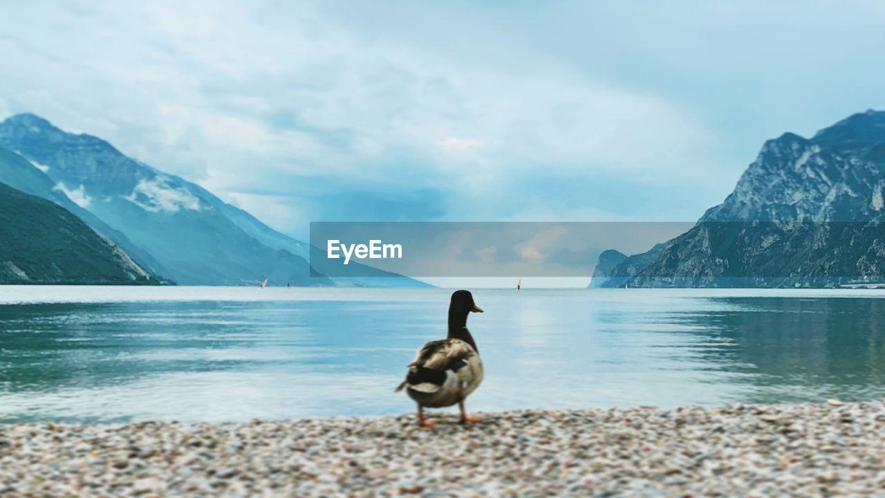 BIRD ON A LAKE AGAINST MOUNTAIN