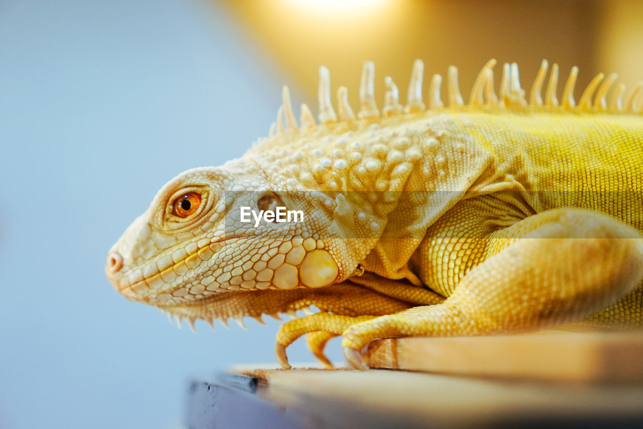 animal, one animal, animal themes, close-up, animal wildlife, animals in the wild, vertebrate, lizard, reptile, nature, sunlight, no people, selective focus, day, focus on foreground, outdoors, animal body part, sky, lens flare, iguana, animal scale, marine, animal eye