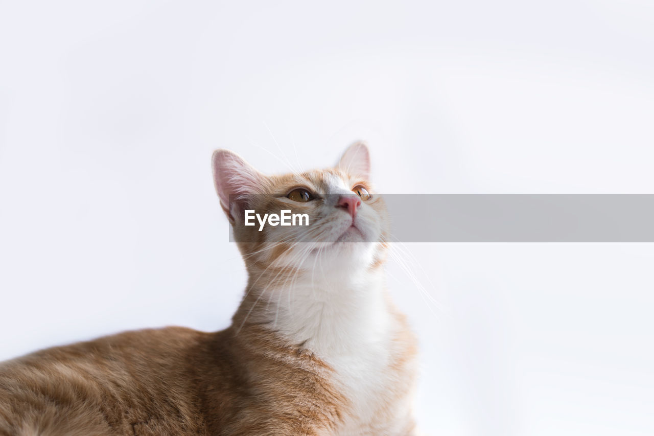 pets, domestic, cat, domestic animals, domestic cat, animal themes, mammal, feline, animal, one animal, white background, studio shot, copy space, looking, vertebrate, no people, indoors, looking away, close-up, looking up, whisker, animal head, ginger cat