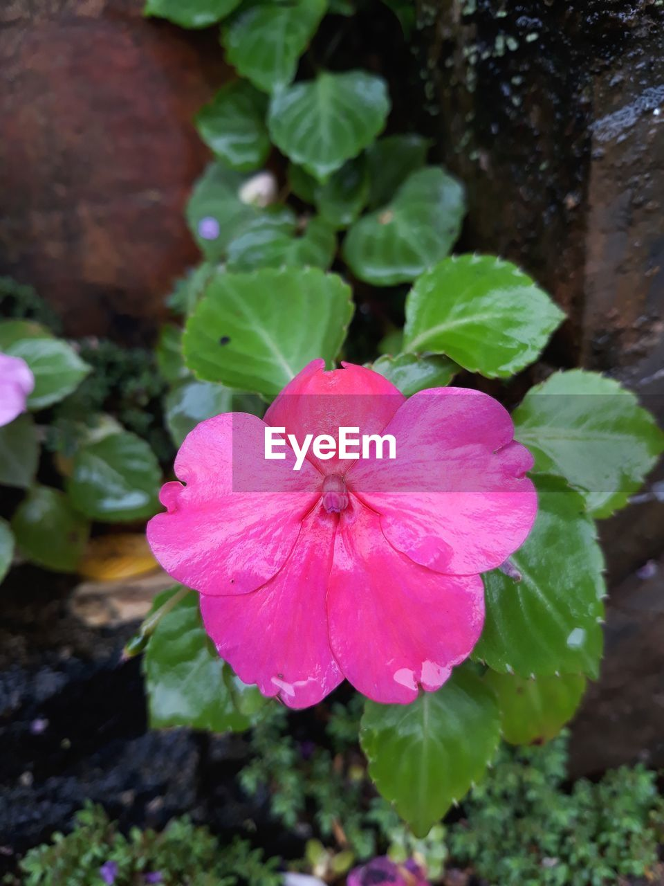 pink color, petal, beauty in nature, day, flower, plant, growth, fragility, periwinkle, flower head, nature, green color, outdoors, no people, freshness, leaf, blooming, close-up, petunia