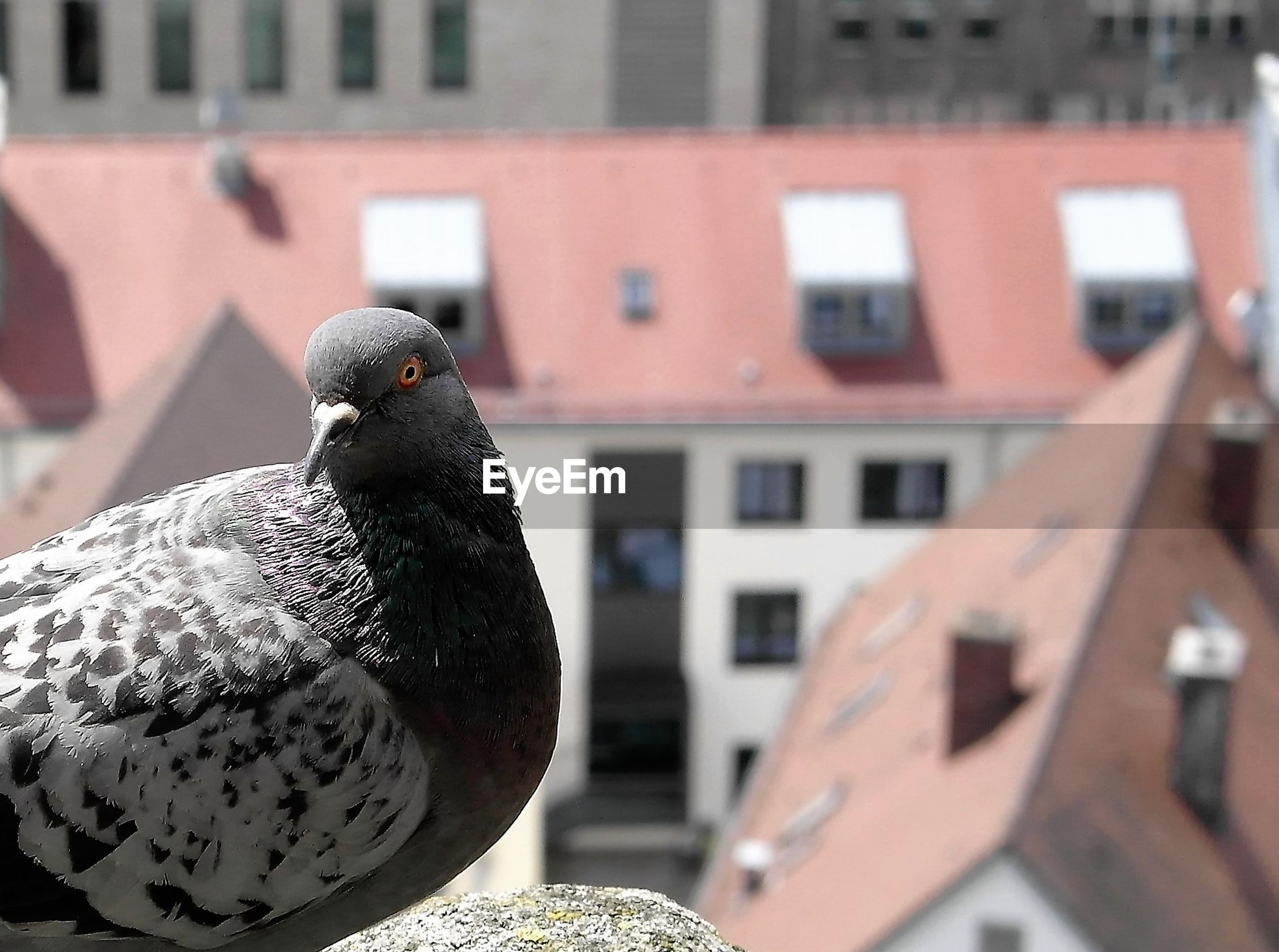 Close-up of pigeon against buildings