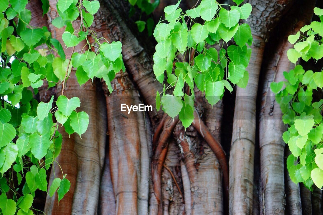 leaf, growth, tree trunk, green color, tree, nature, day, plant, outdoors, no people, ivy, beauty in nature, close-up, fragility, freshness, branch
