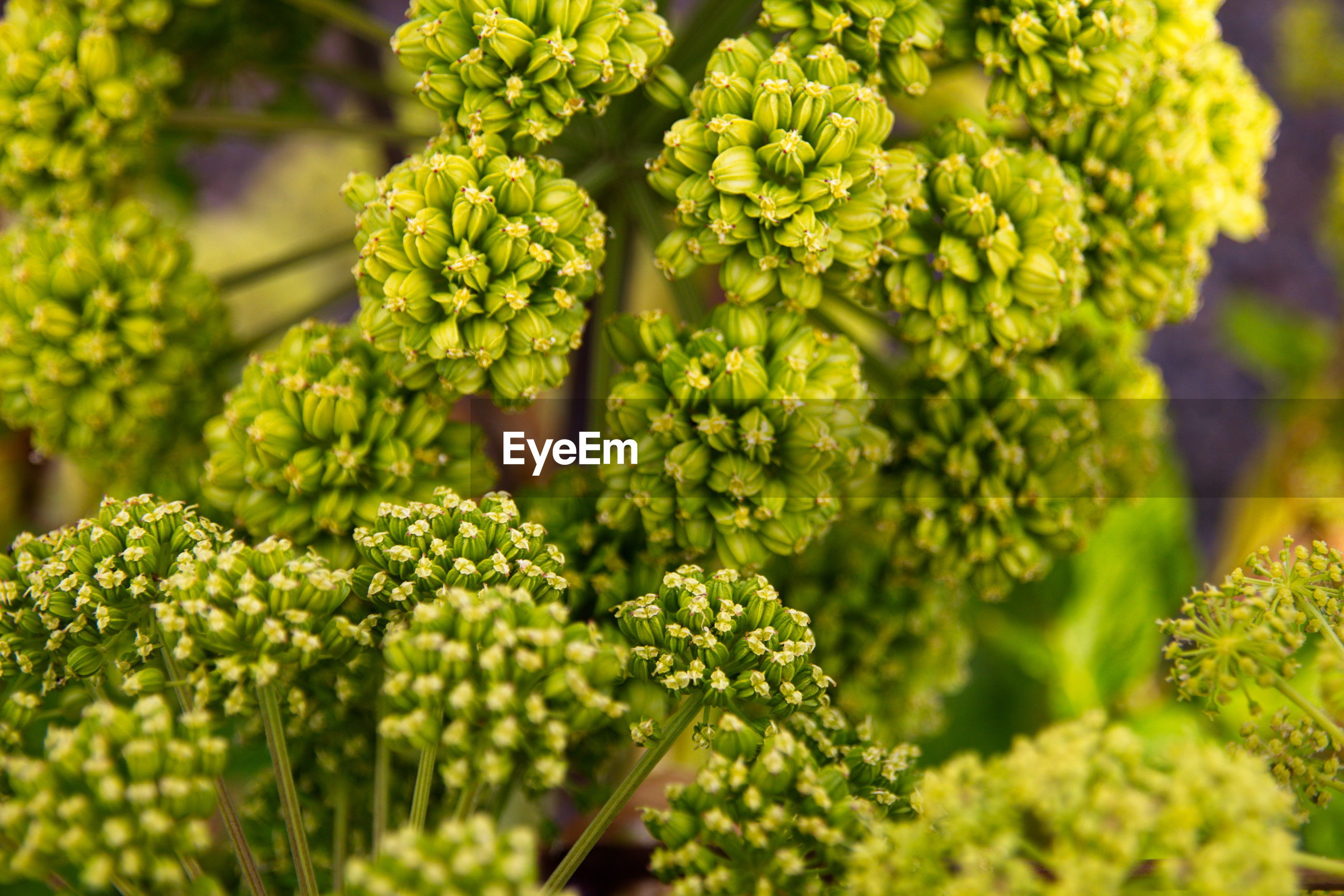 Close-up of fresh green herbs