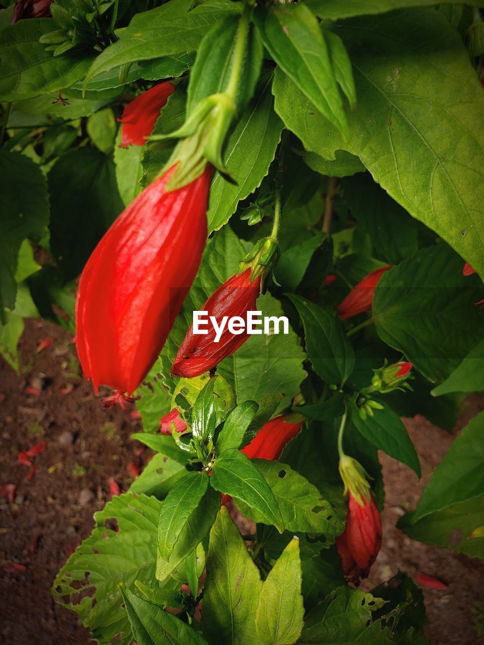 plant part, leaf, red, growth, freshness, food and drink, plant, green color, food, nature, close-up, healthy eating, no people, beauty in nature, wellbeing, vegetable, day, spice, outdoors, chili pepper