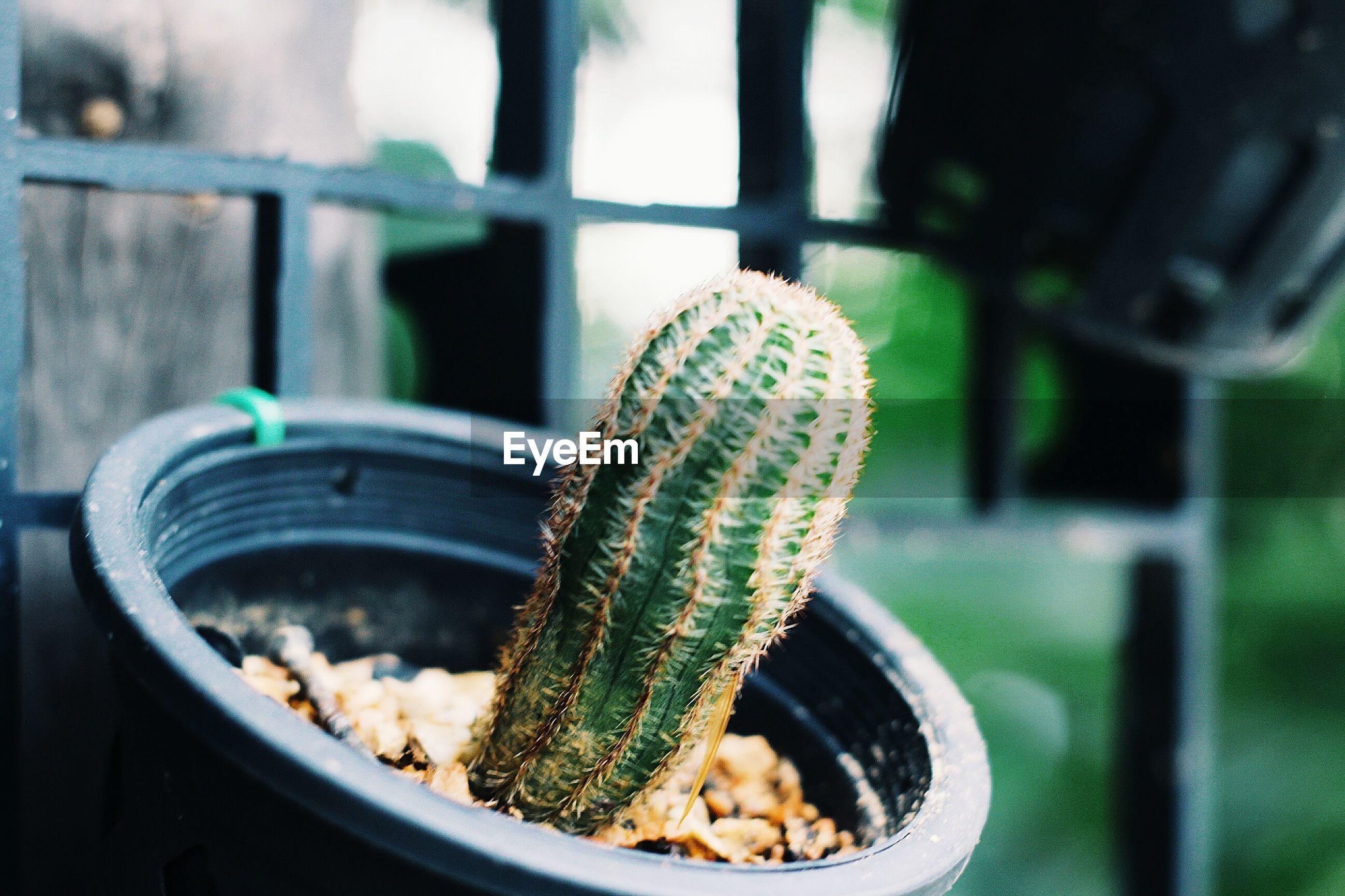 Close-up of cactus in flower pot