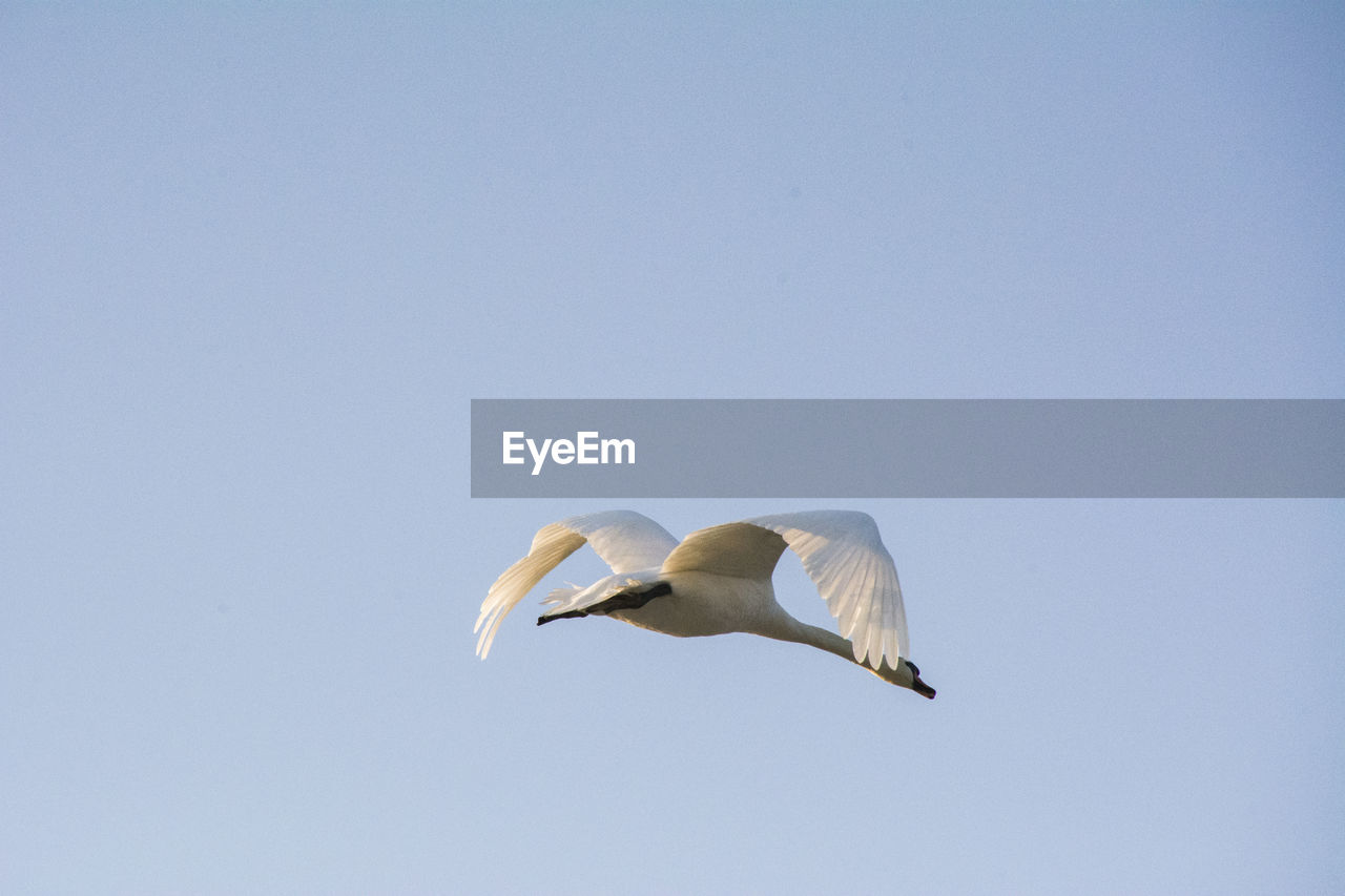 Low Angle View Of Swan Flying Against Sky