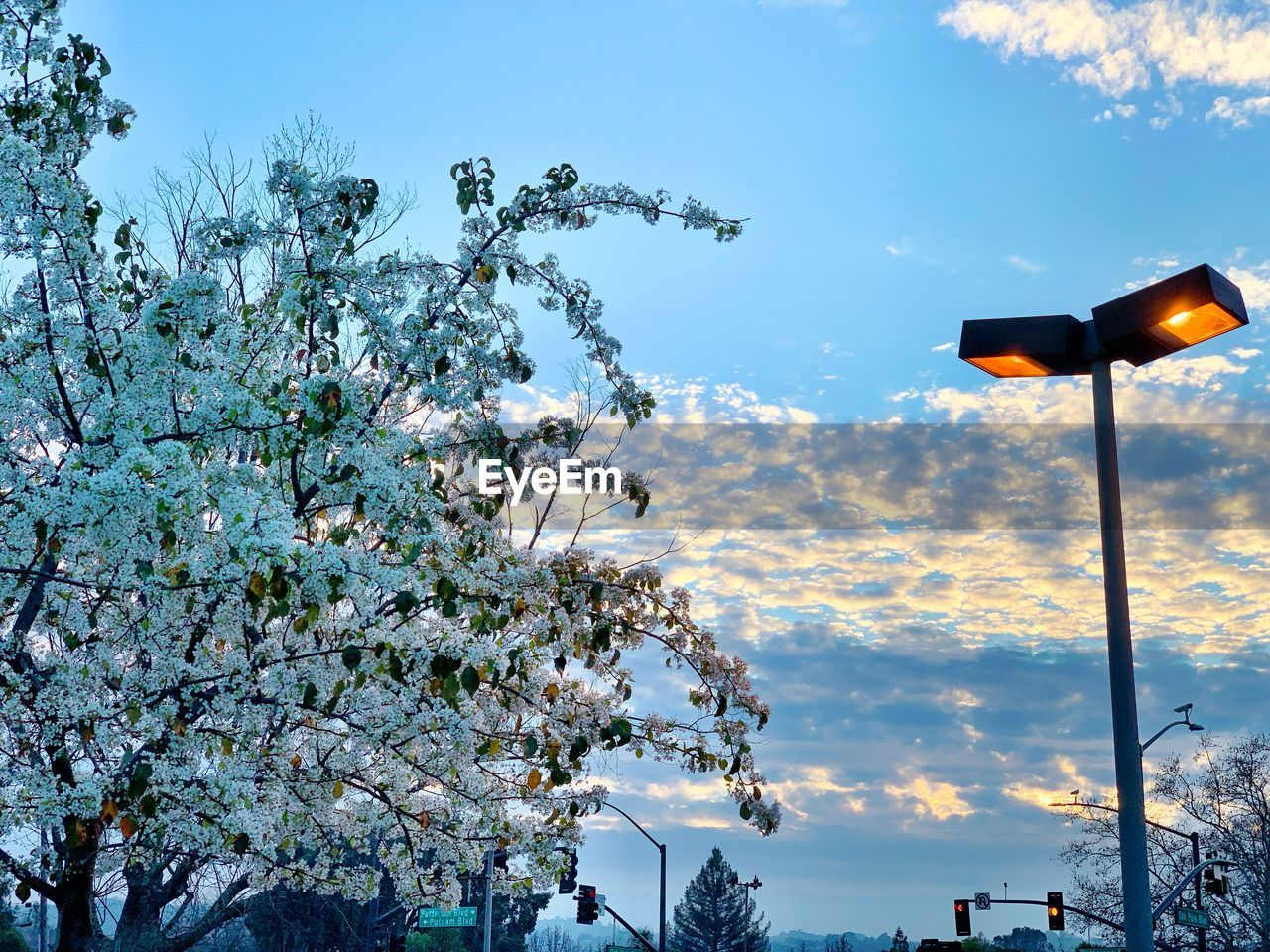 tree, sky, low angle view, plant, lighting equipment, cloud - sky, nature, growth, no people, beauty in nature, flowering plant, branch, flower, outdoors, light, street, blossom, day, freshness, street light, springtime, cherry blossom, electric lamp