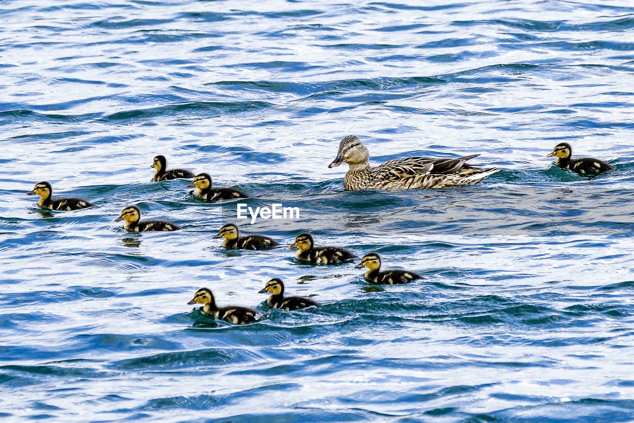 group of animals, animals in the wild, animal themes, animal wildlife, water, animal, swimming, vertebrate, waterfront, bird, no people, medium group of animals, nature, young animal, animal family, lake, young bird, day, female animal, duck, outdoors, gosling