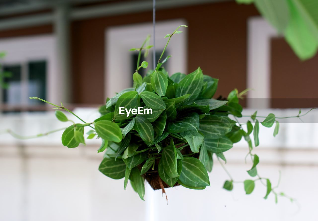 CLOSE-UP OF FRESH GREEN PLANT IN POT AGAINST PLANTS