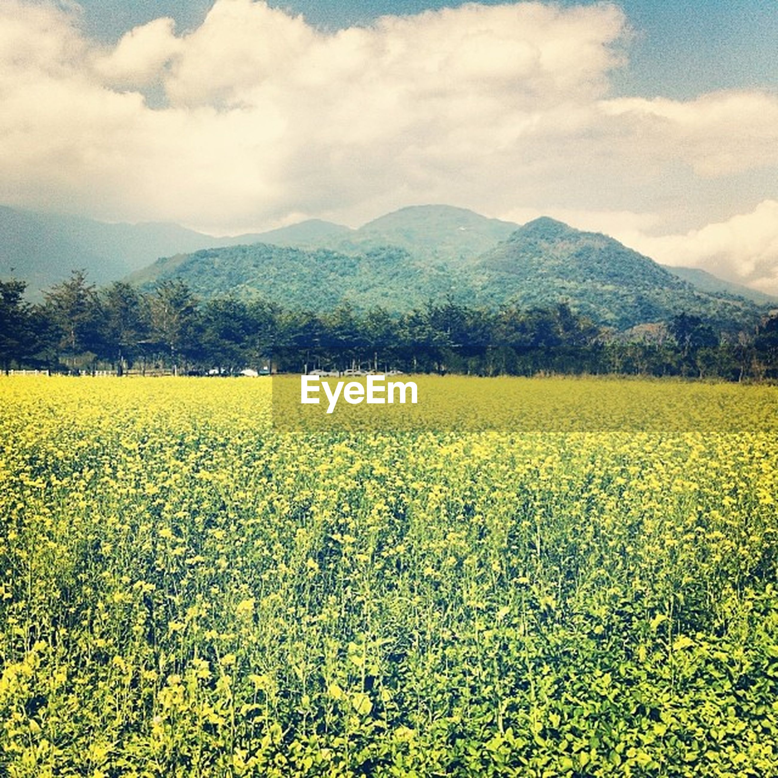 flower, yellow, beauty in nature, agriculture, rural scene, field, landscape, growth, tranquil scene, sky, nature, scenics, freshness, tranquility, farm, abundance, crop, cloud - sky, oilseed rape, mountain