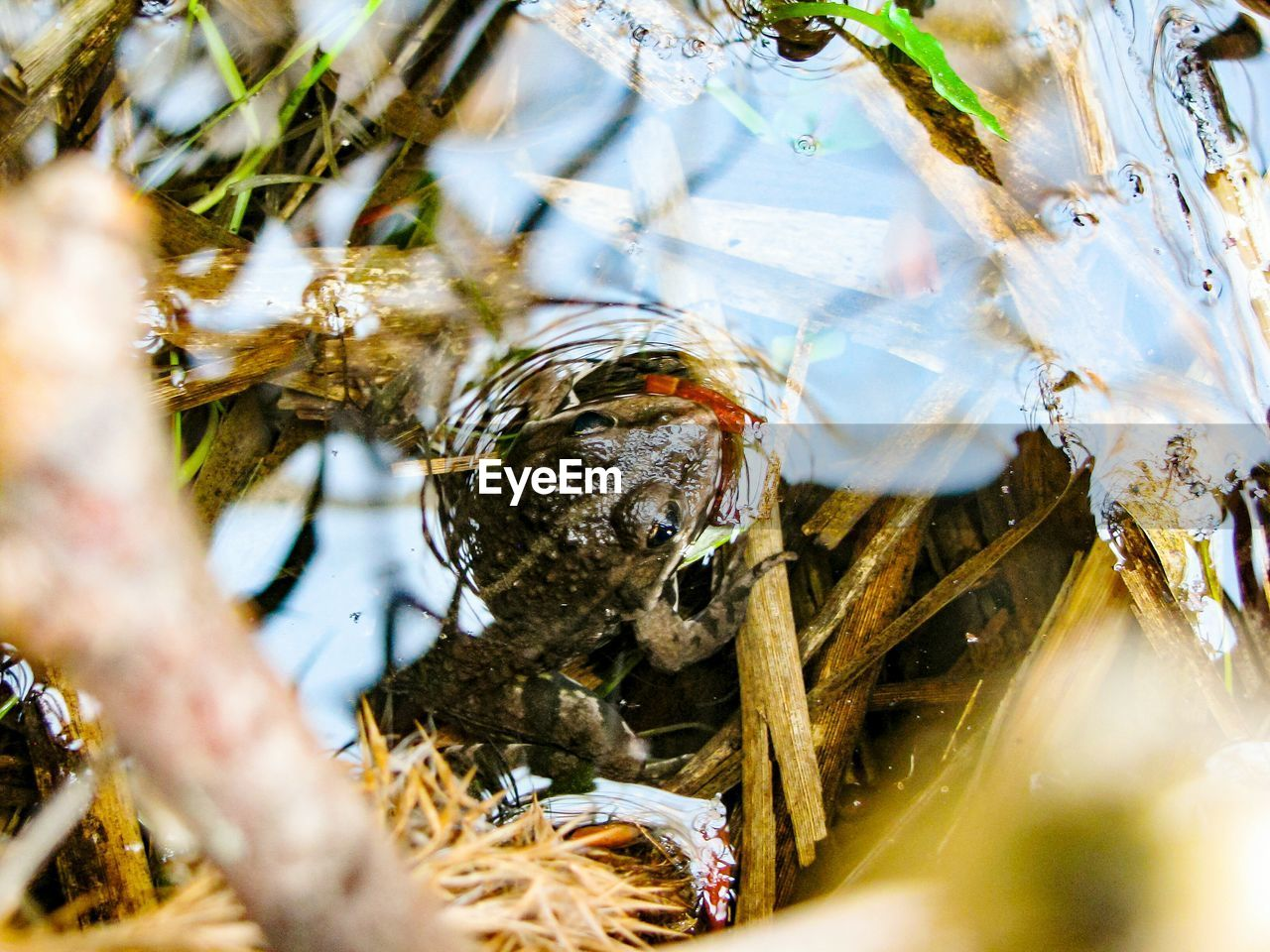 animal, animal wildlife, animals in the wild, animal themes, selective focus, one animal, water, nature, day, vertebrate, no people, close-up, high angle view, outdoors, lake, plant, frog, focus on background, amphibian