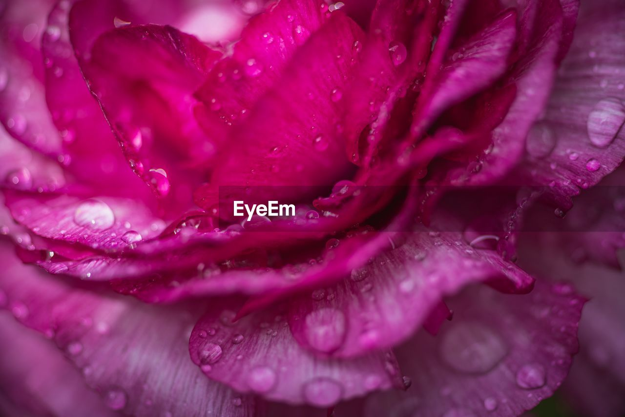 drop, flowering plant, flower, freshness, close-up, wet, petal, plant, vulnerability, beauty in nature, growth, flower head, water, inflorescence, fragility, pink color, nature, purple, no people, dew, raindrop, rain, springtime, rainy season, softness, purity