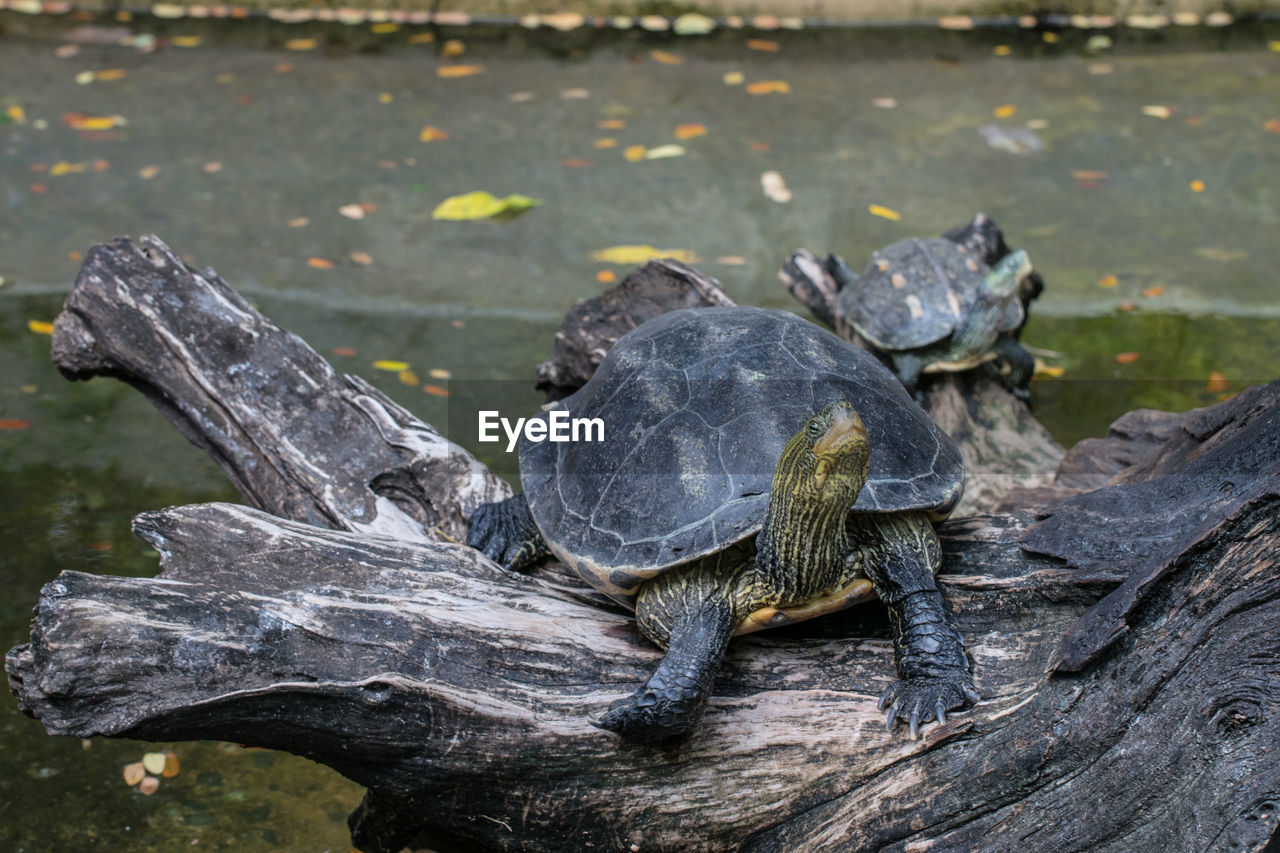 turtle, animal themes, animal, reptile, vertebrate, animal wildlife, animals in the wild, one animal, no people, day, focus on foreground, tortoise, nature, close-up, shell, animal shell, outdoors, wood - material, water