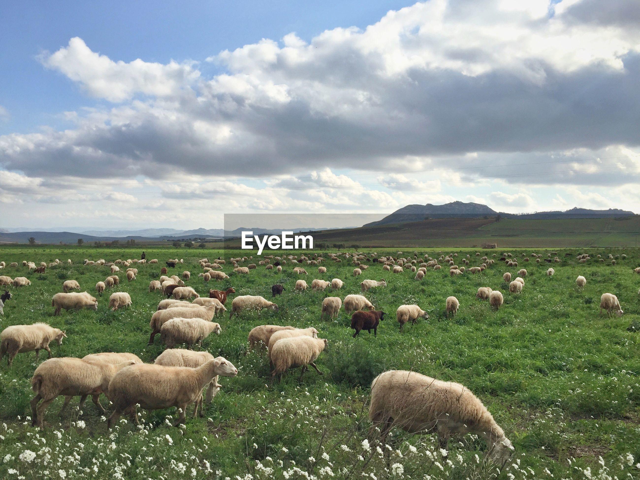 Flock of sheep on grassy landscape against sky