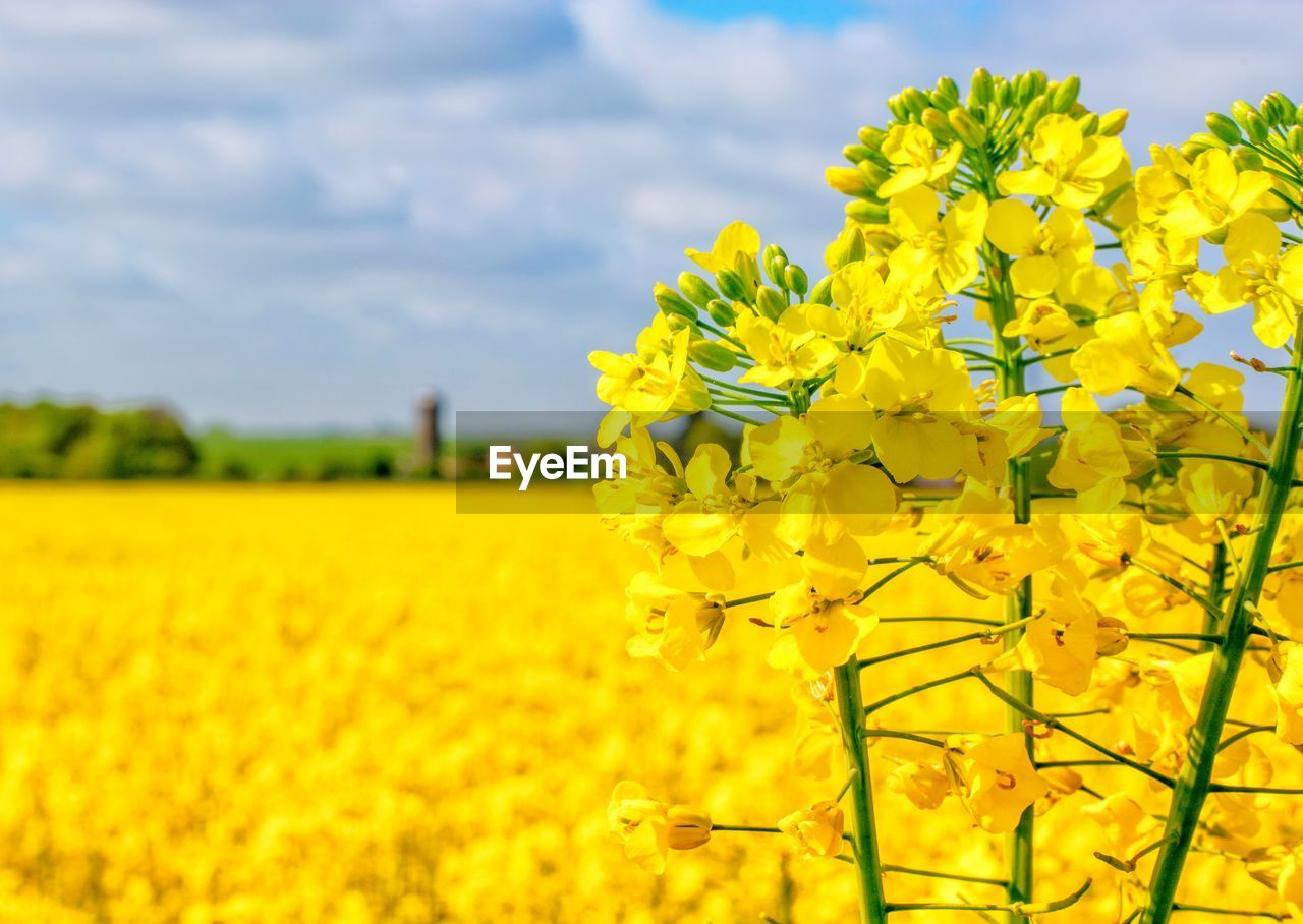 yellow, flower, flowering plant, growth, agriculture, beauty in nature, plant, field, oilseed rape, land, landscape, freshness, fragility, rural scene, vulnerability, farm, nature, scenics - nature, environment, crop, springtime, no people, flower head, outdoors