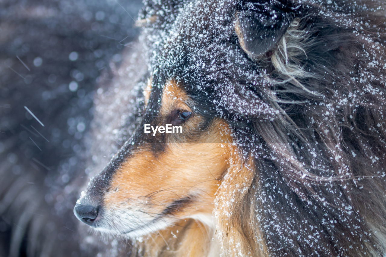 one animal, cold temperature, domestic, domestic animals, animal, canine, winter, dog, mammal, pets, animal themes, snow, no people, close-up, animal body part, animal head, day, focus on foreground, nature, snowing, blizzard
