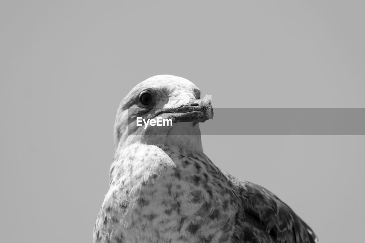 one animal, bird, animal themes, animals in the wild, animal, animal wildlife, vertebrate, copy space, close-up, no people, nature, clear sky, beak, sky, day, looking away, looking, animal body part, animal head, focus on foreground, falcon - bird, animal eye