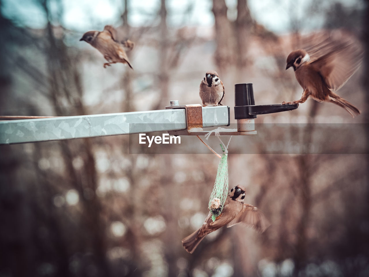 bird, vertebrate, animal, animals in the wild, animal themes, animal wildlife, group of animals, focus on foreground, tree, perching, no people, branch, day, nature, outdoors, selective focus, three animals, sparrow, plant