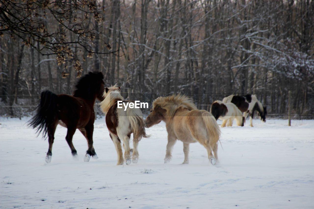 Horses Running On Snow Field