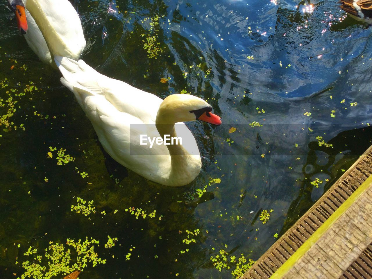 animals in the wild, animal themes, swan, lake, one animal, white color, bird, water, day, animal wildlife, outdoors, no people, nature, swimming, beak, close-up