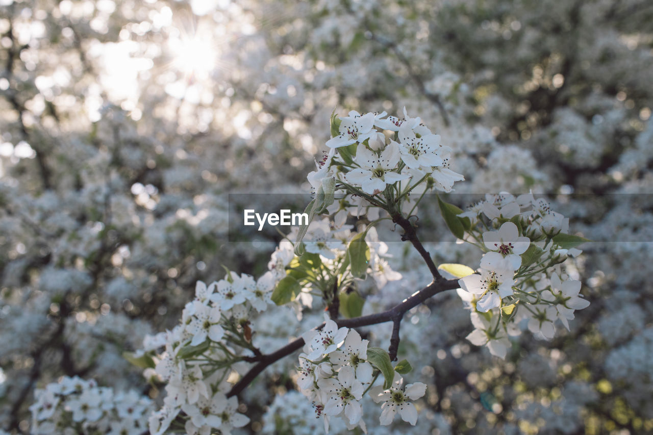 flowering plant, flower, plant, fragility, beauty in nature, freshness, vulnerability, blossom, tree, growth, springtime, white color, nature, close-up, day, no people, branch, sunlight, focus on foreground, cherry blossom, flower head, outdoors, cherry tree, bunch of flowers