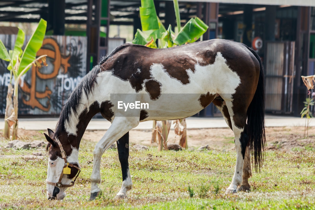 animal, animal themes, mammal, domestic animals, livestock, domestic, pets, vertebrate, group of animals, focus on foreground, field, land, cattle, animal wildlife, day, nature, cow, herbivorous, no people, grass, outdoors