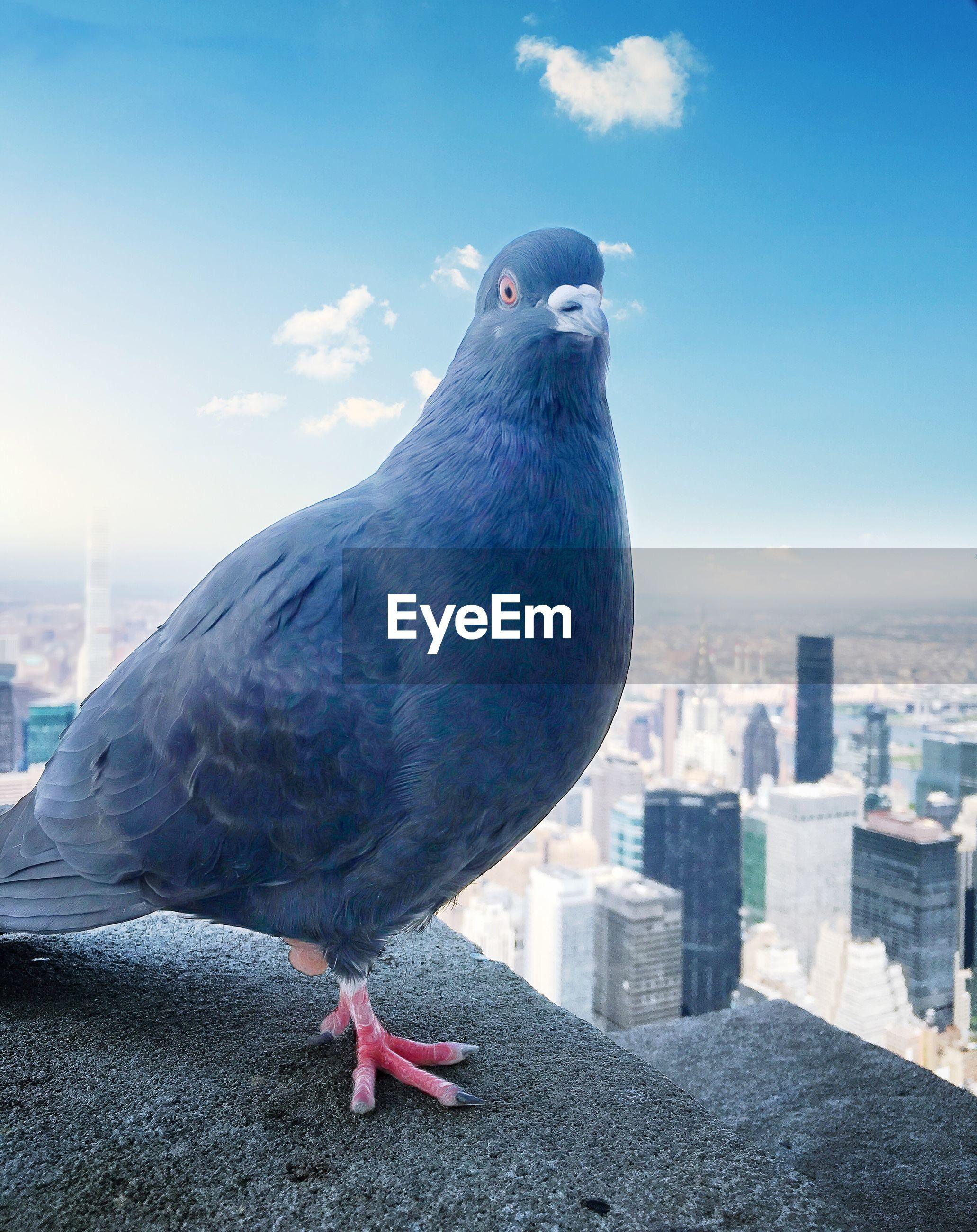 Close-up portrait of pigeon against cityscape